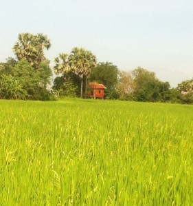 Rice field, Kampong Cham