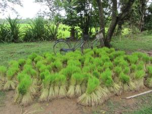 Rice seedlings arrive by bike and wait for planting