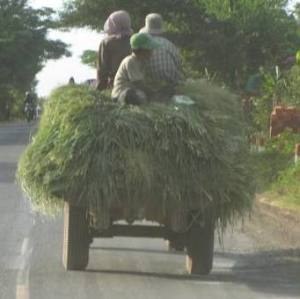 Collecting Grass, Cambodian-style